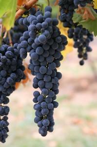 uva de vinho