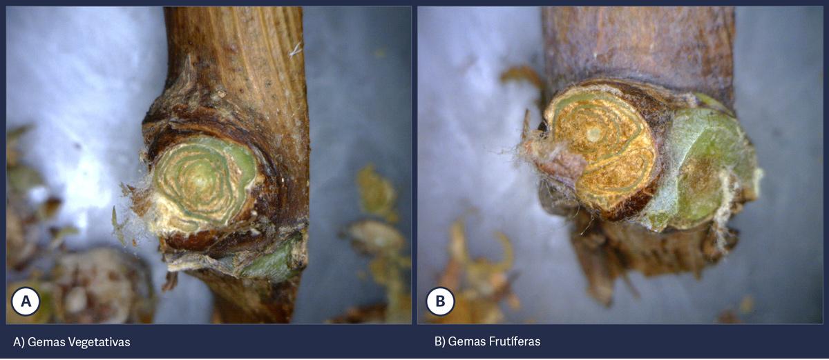 gemas-vegetativas