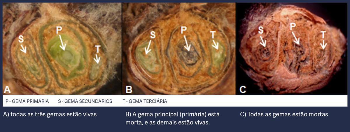 morfologia-da-gema
