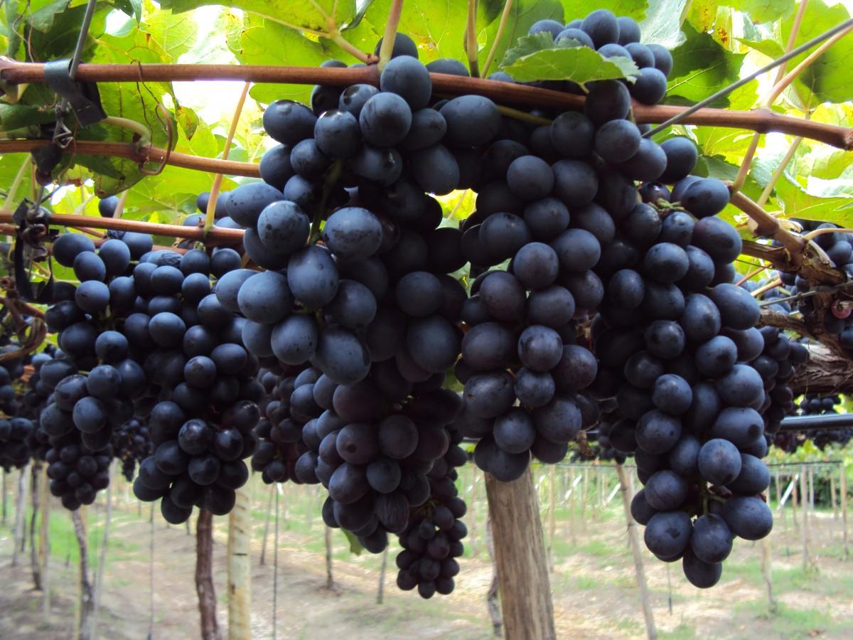Saiba se você deve plantar a nova variedade de uva BRS Vitória