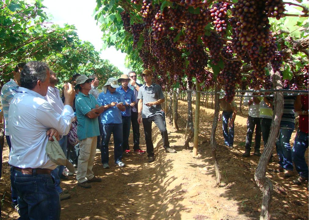 Dia de campo Labrunier, Petrolina - PE - BRS Magna, BRS ISIS, BRS Vitória, uva, novas cultivares