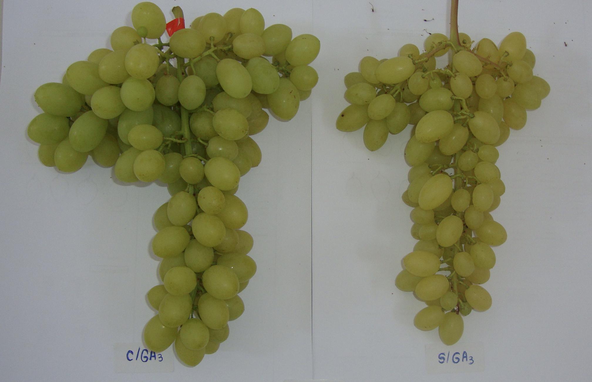 Uso de GA3 como fonte de biorregulador para aumentar o tamanho de bagas.