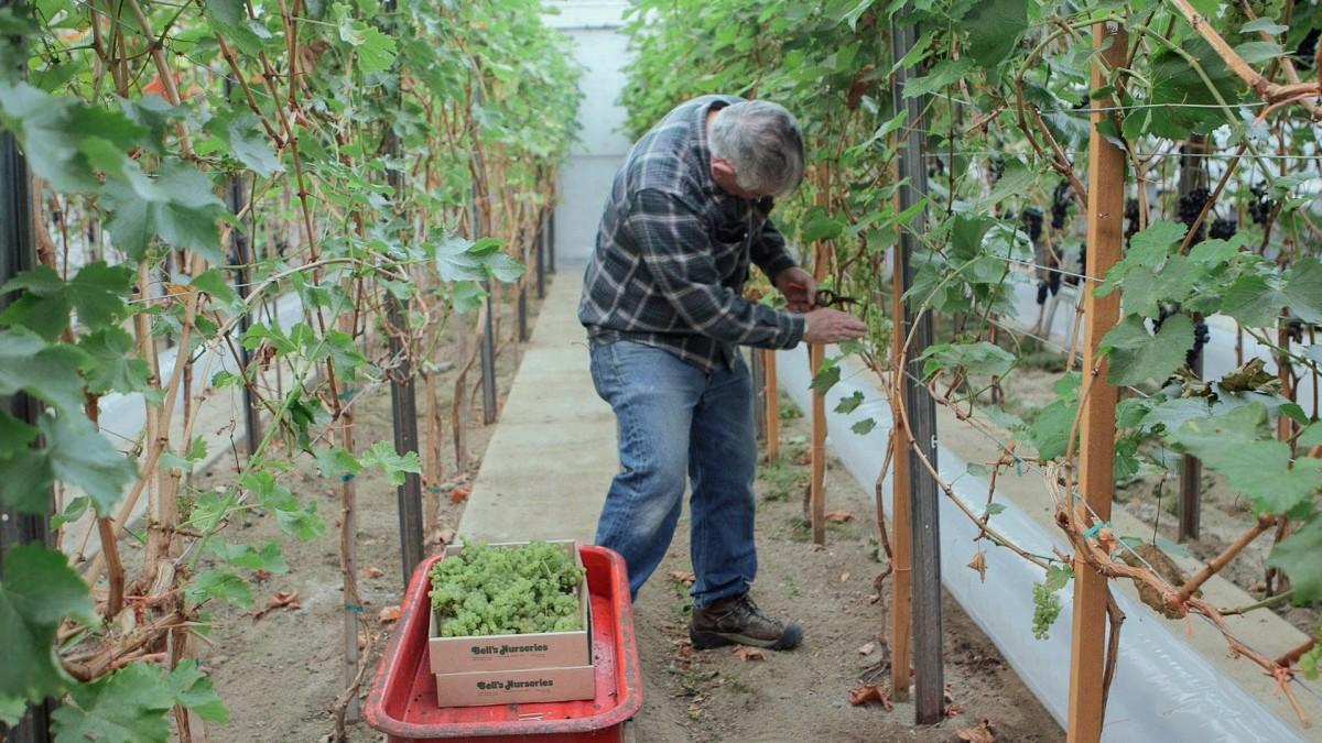 Guia completo de como plantar uva em casa