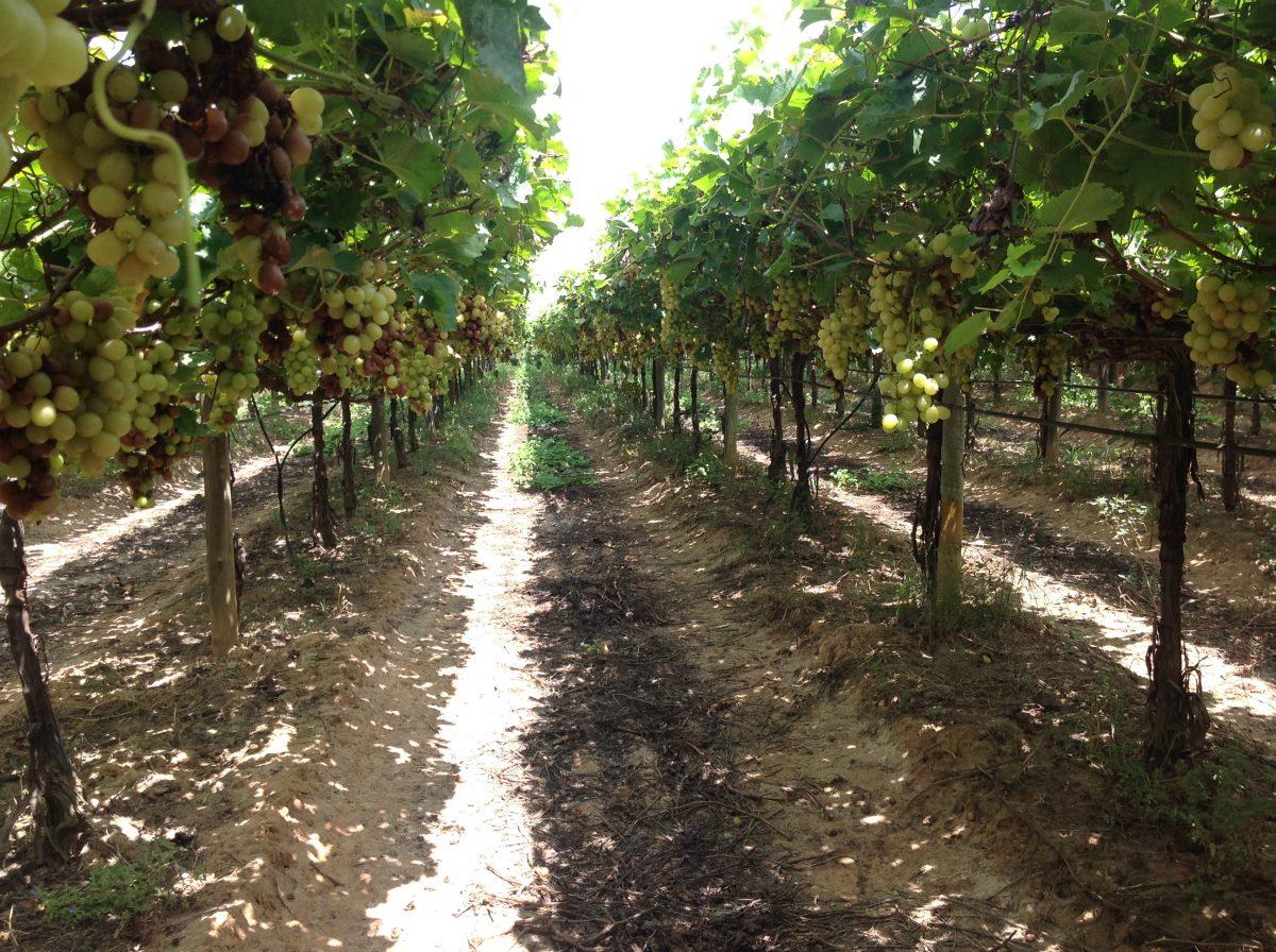 Como identificar podridões em uva de mesa na pré-colheita de forma simples