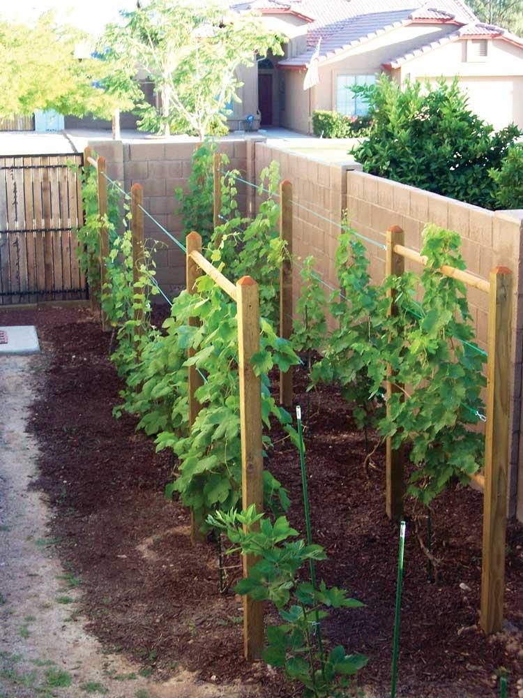 Imagem mostrando como plantar videira