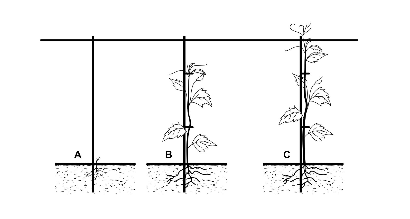 Imagem mostrando como posicionar videira