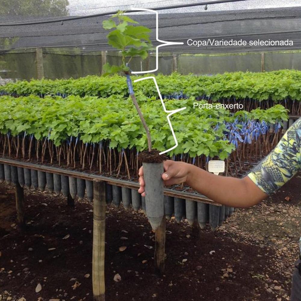 Foto de uma planta completa mostrando as diferentes partes de uma muda enxertada - variedade e o porta-enxerto
