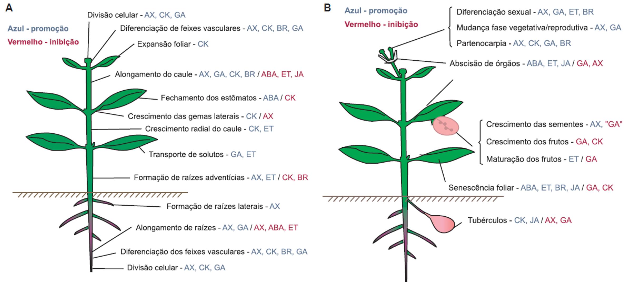 Figura 2. Funções dos biorreguladores no crescimento vegetativo (A) e no crescimento reprodutivo e na senescência (B). Legenda: AX = auxina, CK = citocinina, GA = giberelina, BR = brassinosteróide, ABA = ácido abscísico, ET = etileno, JA = ácido jasmônico. Fonte: Rodrigues, 2008.