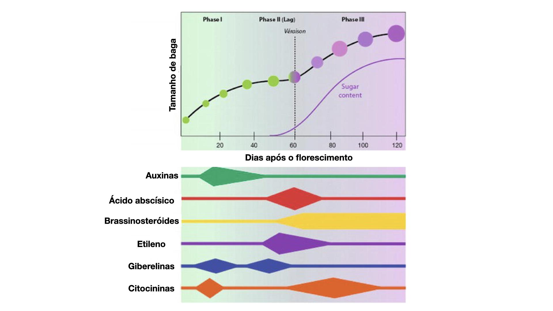 Representação esquemática do conteúdo hormonal nas fases de desenvolvimento do fruto da uva